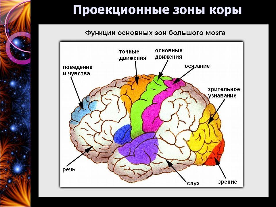 проекционные зоны мозга