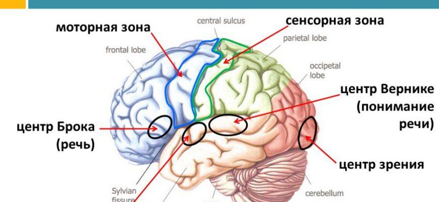 речевые зоны коры головного мозга